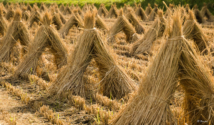 Rice bundles drying in the field