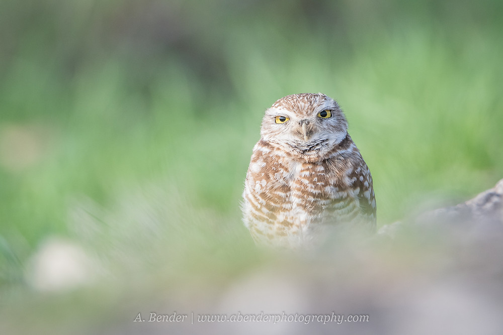 Burrowing owl at ground level in central Texas | A Bender Photography LLC