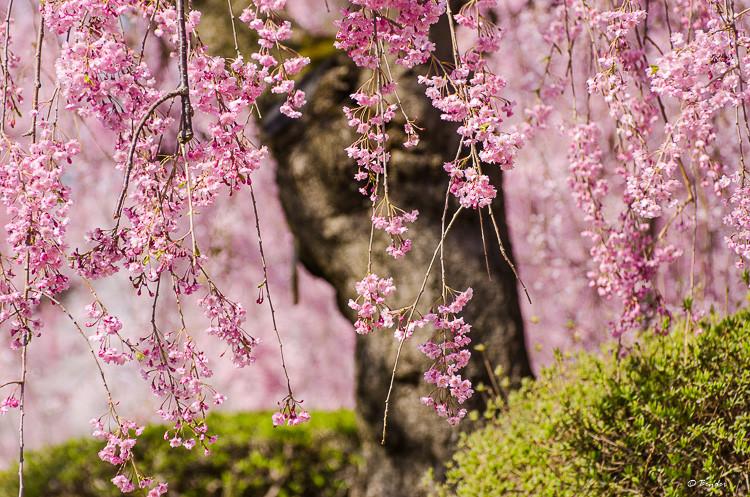 Weeping Cherry Tree - Hirosaki