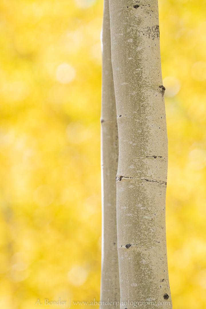 Aspen detail in Fall