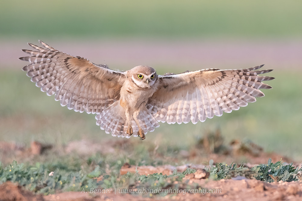 Burrowing owl in flight wings fully extended coming in for landing near burrow in Northern Texas | A Bender Photography LLC