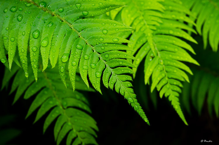 Rain drops on fern leaves