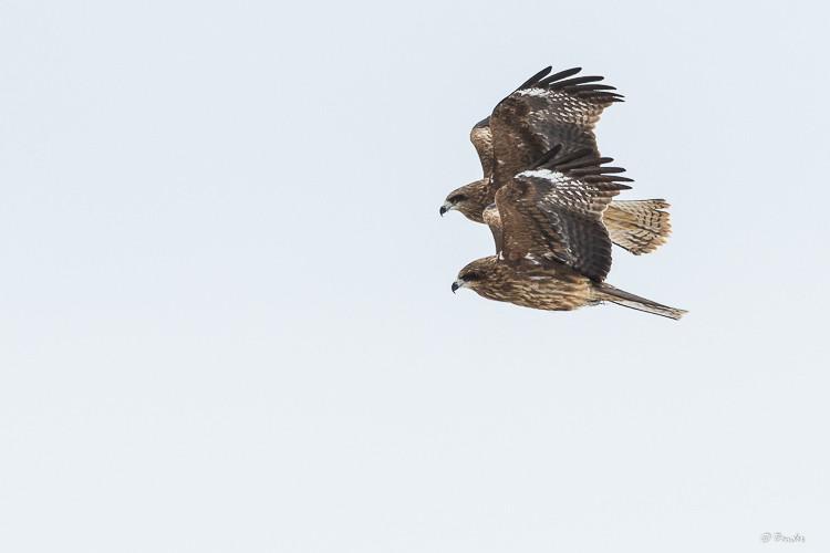 Black kite pair in flight
