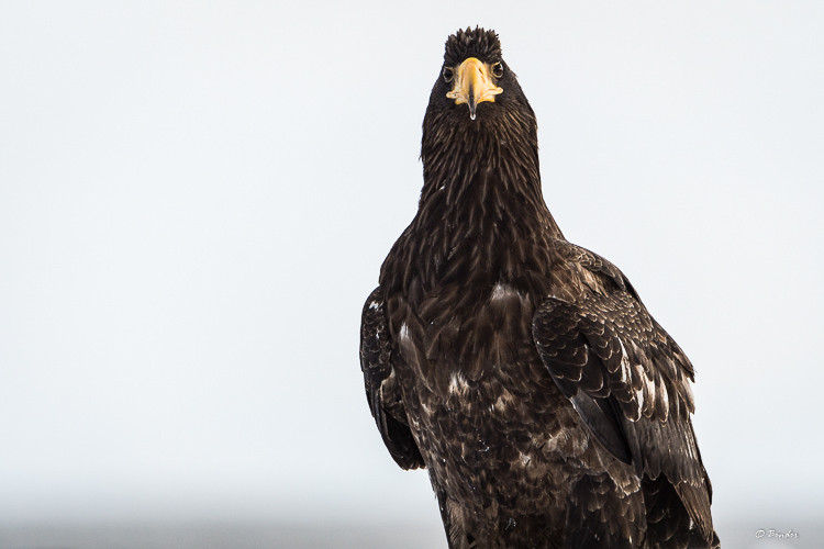 Juvenile Steller's Sea Eagle Portrait