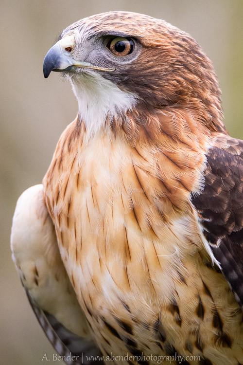 Red Tailed Hawk, Teton Raptor Center