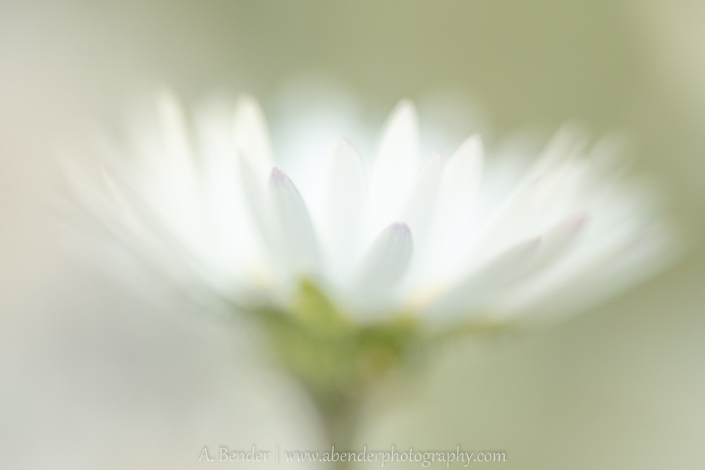 abstract macro of a small daisy, a bender photography