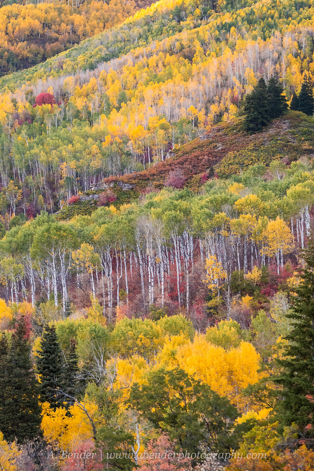 Layers of trees along the Wasatch Mountain ridges decked in fall colors from green to yellow and red, Utah 2021 autumn | A Bender Photography LLC