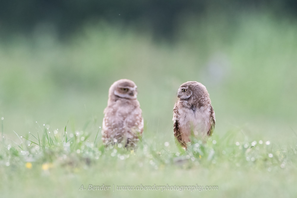 Two burrowing owls owlets sitting in dew covered grass predawn in Northern Texas | A Bender Photography LLC