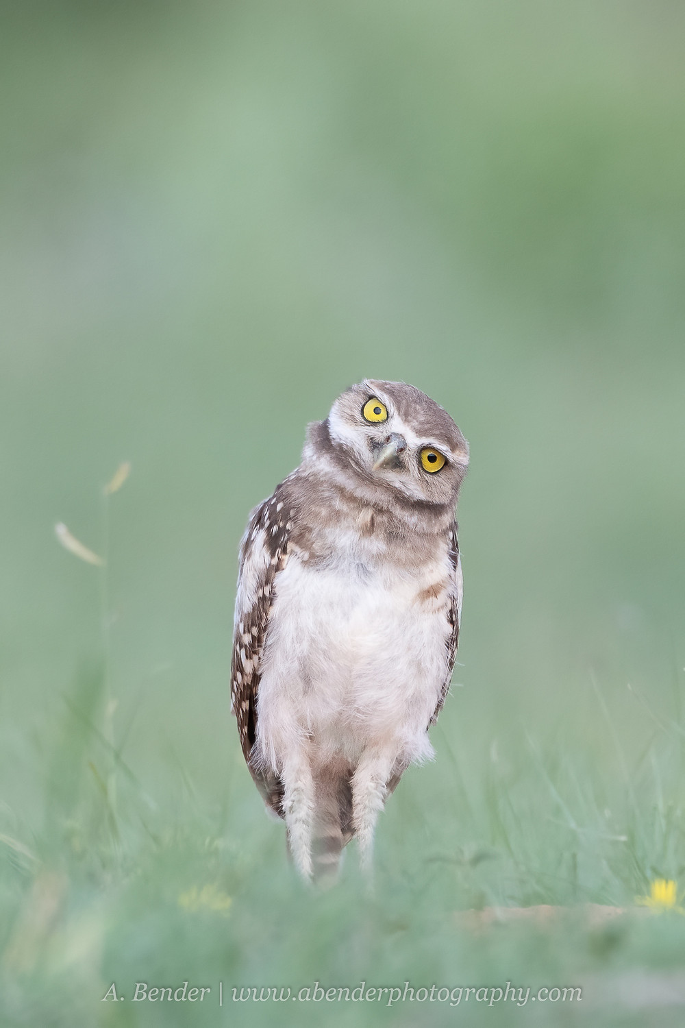 A burrowing owl owlet fledgling tilts its head in northern Texas | A Bender Photography LLC
