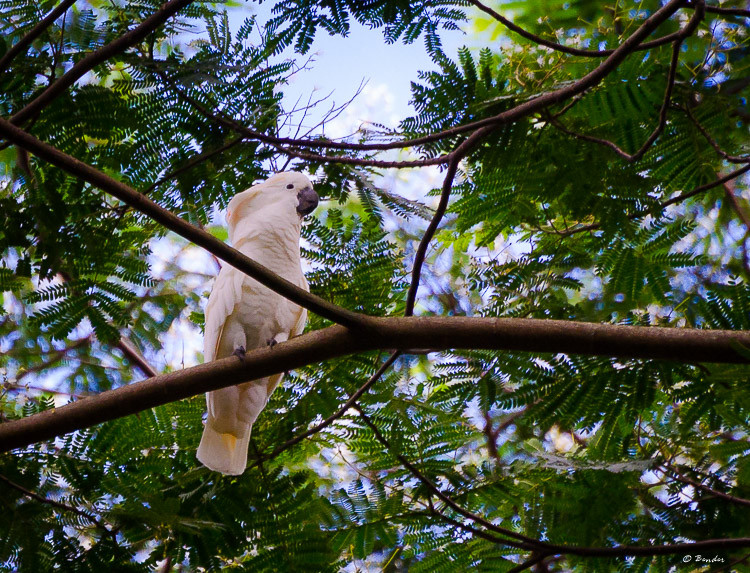 Wild cockatoo in the tropical jungle on Oahu