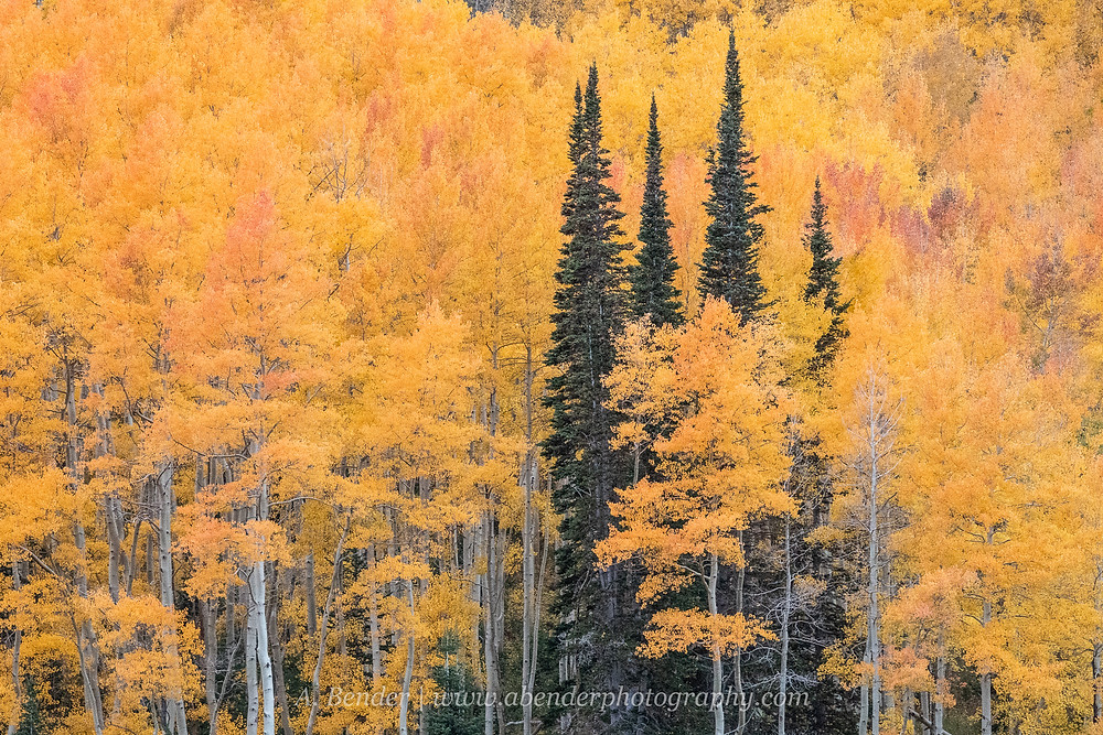 A small cluster of evergreens stands tall amongs the vibrant yellows and oranges of surrounding aspen trees in their fall foliage in the Wasatch Mountains Silver Lake Utah autumn 2021 | A Bender Photography LLC