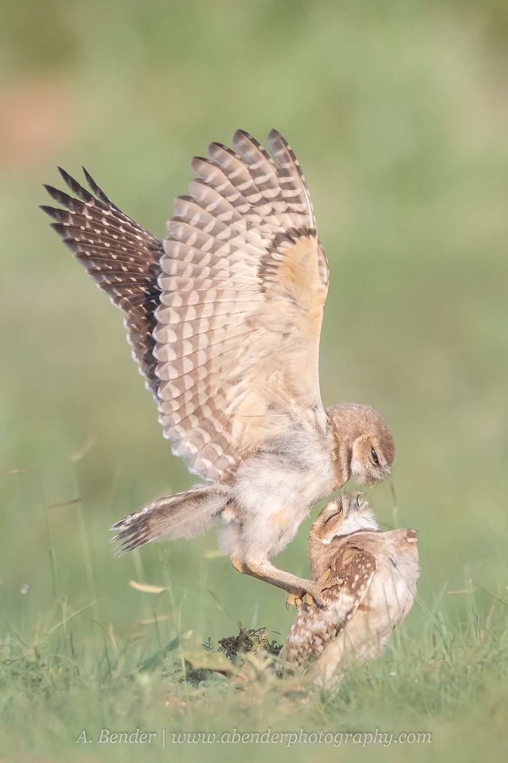 Two burrowing owls where one is asserting dominance over the other by standing on its back flight wings up in northern Texas | A Bender Photography LLC
