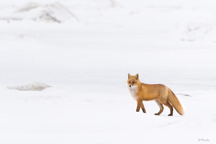 Ezo fox survaying a frozen lake