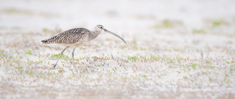 Long-billed curlew, Antelope Island State Park