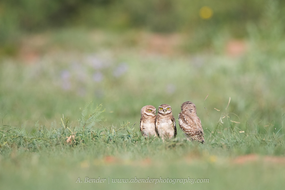 three burrowing owlets  standing near their burrow in northern Texas | A Bender Photography LLC
