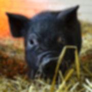 PiggySmalls.jpg
