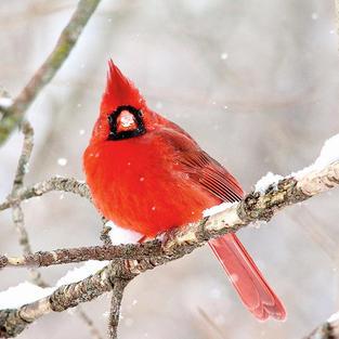 The beautiful cardinal
