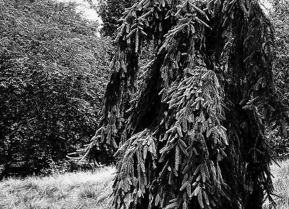 Big Foot Pine