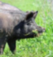 Free Range Pork - Merrifield Farm
