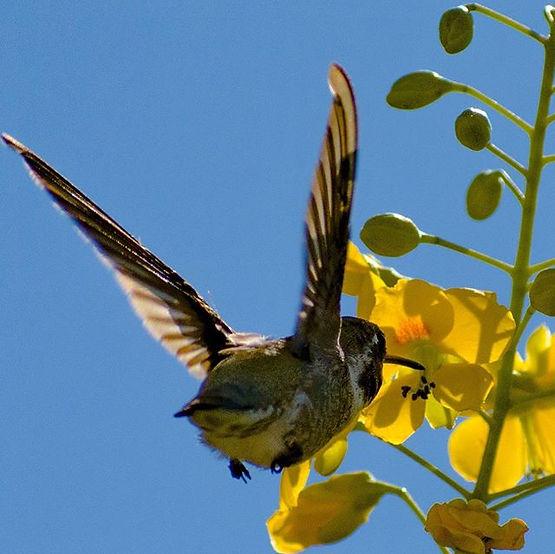 Anna's Hummingbird enjoying some nectar