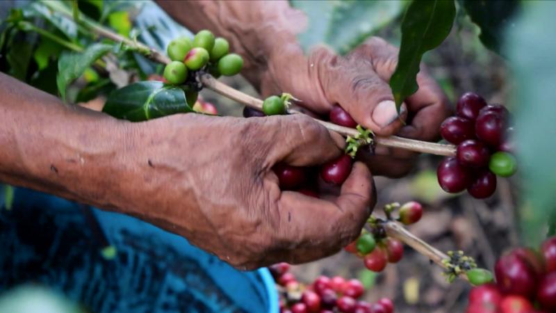 Producteurs Café en grains Bio Équitable
