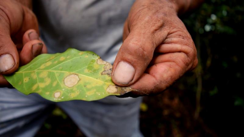 Culture du café grain Bio Équitable