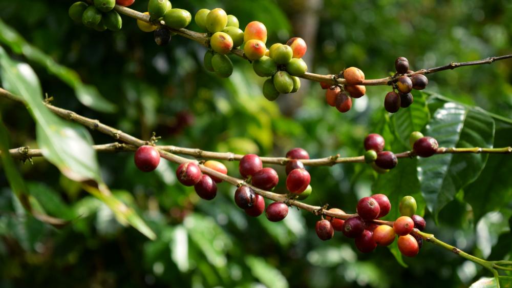 Cerise Grain de Café Bio Équitable