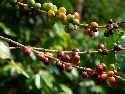 Savez-vous (vraiment) comment se cultive un café bio d'altitude?
