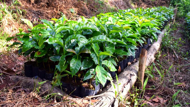 Plants de Café Bio Équitable