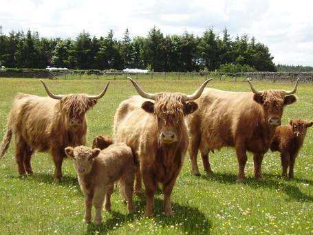 Highland cows and calves