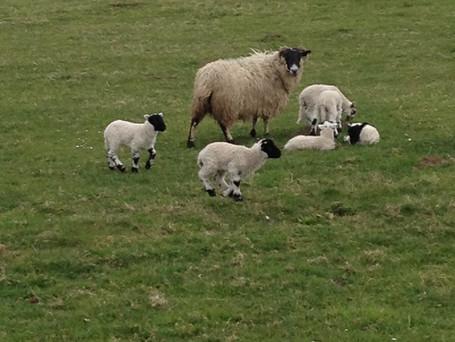 Babysitting the lambs