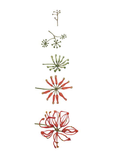 Stenocarpus sinuatus - Firewheel Tree