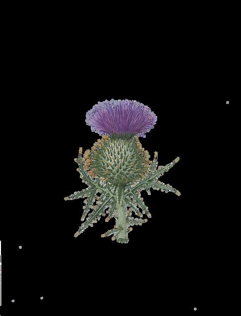 Scotch Thistle - Onopordum acanthium