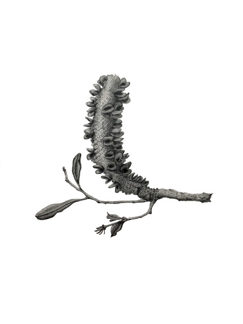 Banksia integrifolia #2