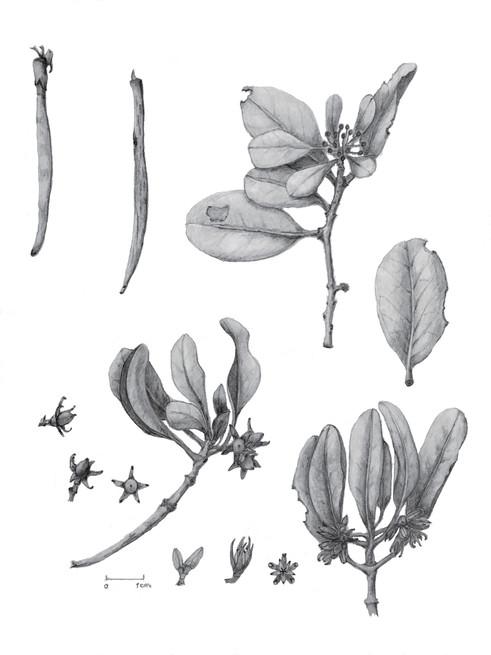 Ceriops tagal var australis
