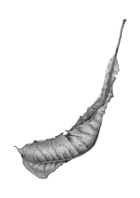 Plumeria #1