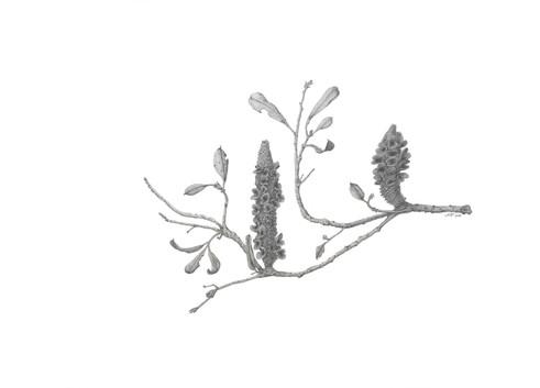 Banksia integrifolia #4