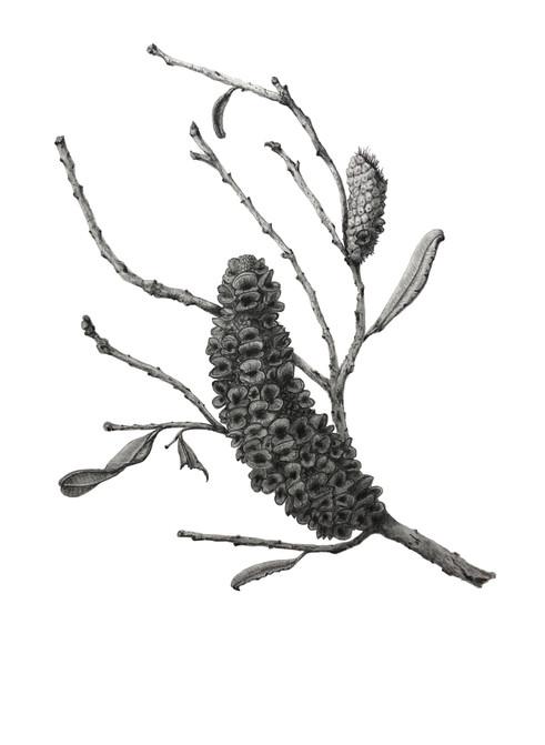 Banksia integrifolia #3