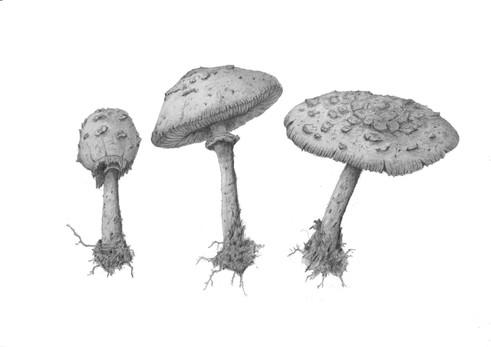 Chlorophyllum molybdites
