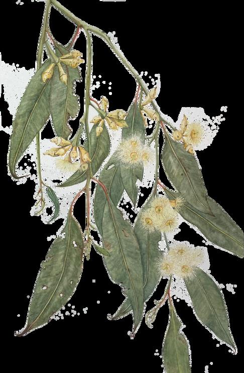 Eucalyptus robusta - Swamp Mahogany