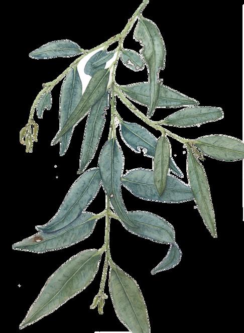 Eucalyptus foliage #1