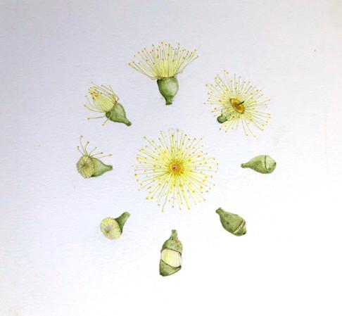 Corymbia torrelania - Cadaghi
