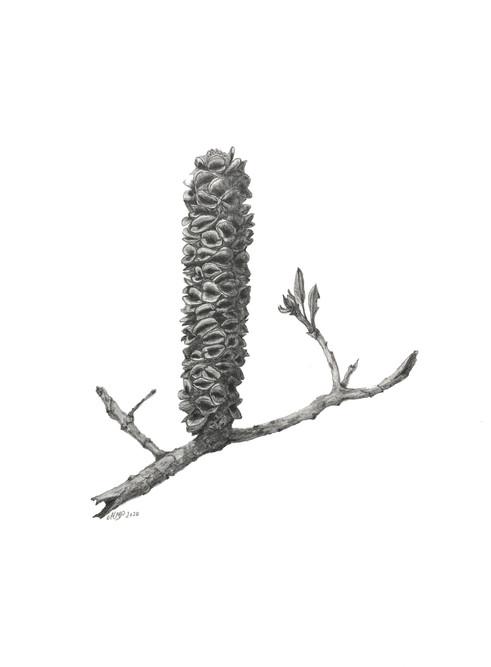 Banksia integrifolia #1