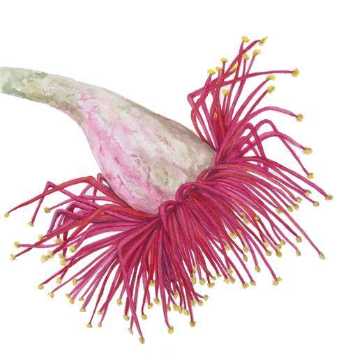Corymbia ficifolia #5