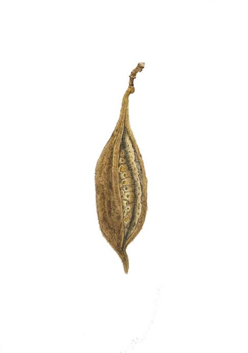 Brachychiton bidwillii seed pod #1