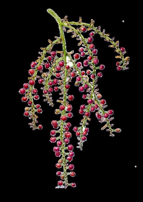 Cordyline petiolaris #1