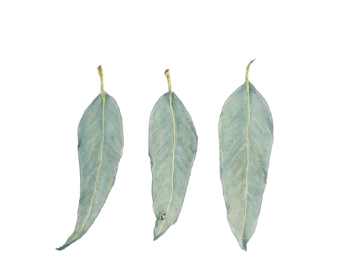 Eucalyptus leaves #1