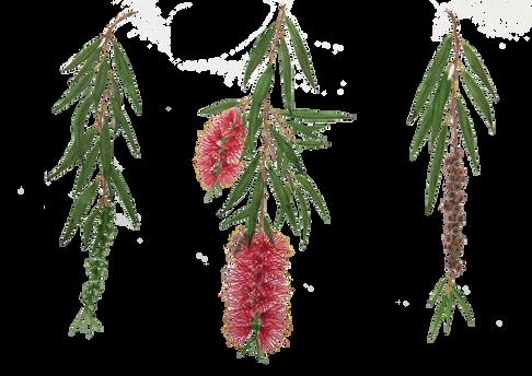 Melaleuca viminalis (syn Callistemon viminalis)