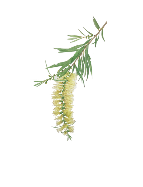 Callistemon salignus - Willow Bottlebrush