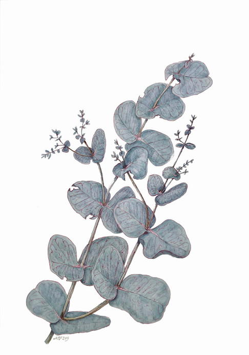 Eucalyptus canobolensis
